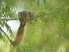 schulz_krause_fox_squirrel