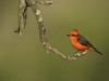 schulz_krause_vermillion_flycatcher