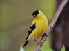 vestal_flya_goldfinch