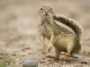 mexican-groundsquirrel