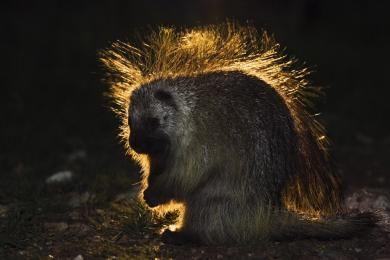wood_selah_porcupine