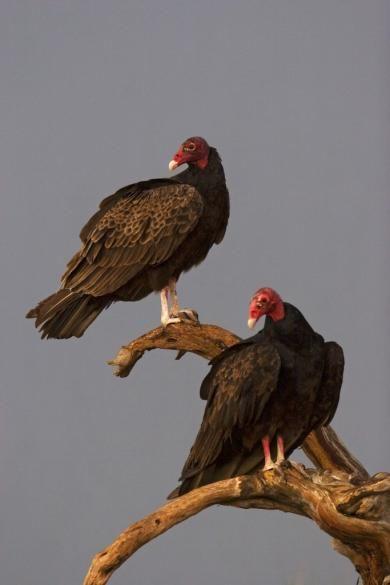 lee06_losmad_turkey_vulture