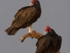 lee06_losmad_turkey_vulture