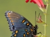 hend_rose_butterfly
