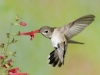 hend_rose_hummingbird2