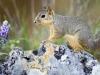 hend_rose_squirrel