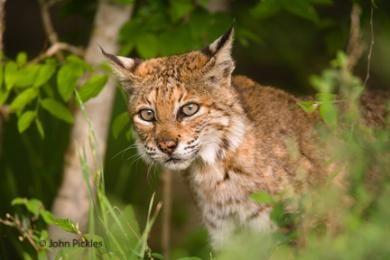 jpickles-bobcat