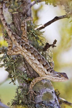 jpickles-lizard