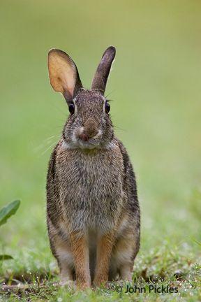 jpickles-rabbit