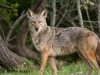 jpickles-coyote