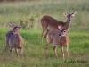 jpickles-deer