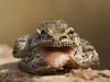 jpickles-frog