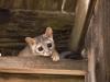 keeler_bcna_ringtail_cat