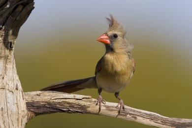 francis_redcor_cardinal