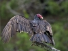 francis_redcor_vulture