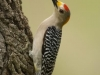 sloat_pipe_woodpecker