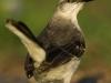nuss_estrel_mockingbird