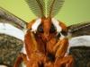 nuss_estrell_cecropia_moth_face