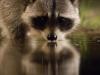 nussb_estrel_raccoon