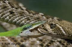 lizardsnake