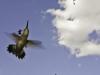 fitz_peter_hummingbird