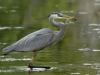 ulrich_peace_heron