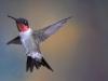 ulrich_peace_hummingbird