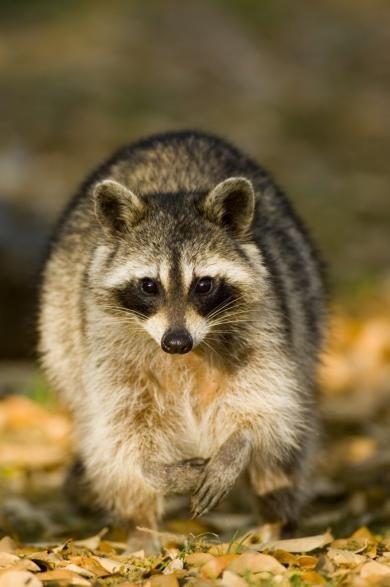 kaehler_stowers_raccoon