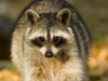 kaehler_stowers_raccoon