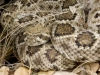 kaehler_stowers_rattlesnake